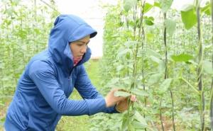 Hà Nam: Bắt tay trồng rau sạch cung ứng cho siêu thị