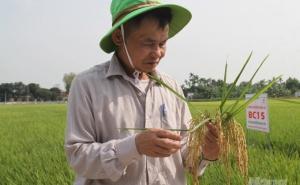 Nông dân xứ Nghệ mê tít lúa BC15 gen kháng đạo ôn