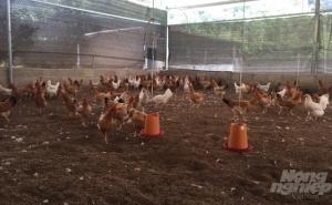 Cao Bằng: Chăn nuôi an toàn, không lo dịch bệnh