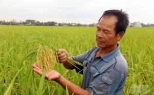 Hiệu quả liên kết sản xuất lúa TBR225 và Thái Xuyên 111