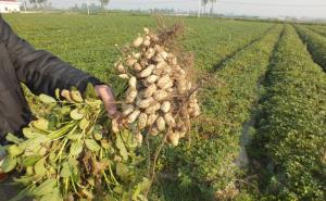 Thu hoạch lạc sớm, nông dân Hà Tĩnh phấn khởi vì được giá