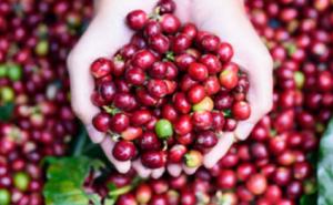 HTX nông nghiệp, sản xuất và thương mại Sáu Nhung (Kon Tum): Nỗ lực xây dựng thương hiệu