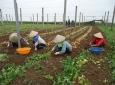 Hà Nội: Đẩy mạnh phát triển hợp tác xã nông nghiệp