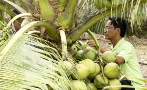 Nâng chất chuỗi giá trị cho dừa Trà Vinh