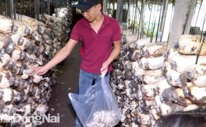 Sản xuất nấm ở làng nghề Bàu Cối