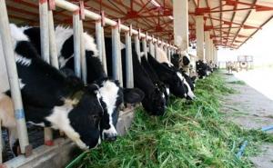 Nhiều hộ nông dân nuôi bò sữa tại Sóc Trăng lao đao vì không tiêu thụ được