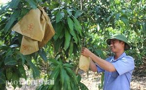Giám đốc hợp tác xã làm trái cây xuất khẩu