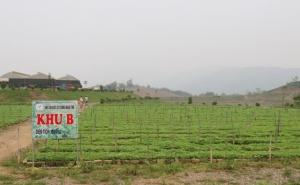 Cẩm Thủy (Thanh Hóa): Tập trung phát triển cây gai xanh cho thu nhập cao