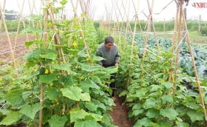 HTX Hòa Bình: Sản xuất an toàn hồi sinh làng rau 'xanh'
