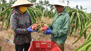 Bà Rịa - Vũng Tàu: Làm giàu nhớ trái thanh long ruột đỏ