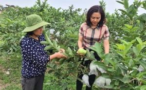 Hợp tác xã Nông nghiệp Sạch Nam Vũ thành công nhờ quả ổi