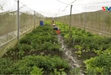Truyền hình Sóc Trăng: Hiệu quả mô hình trồng màu ở hợp tác xã nông nghiệp Thành Đạt