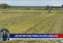 Bình Thuận: Liên kết bền vững trồng lúa chất lượng cao