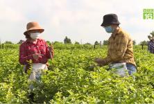 Nữ giám đốc khuyết tật, kiếm 2 tỷ đồng/năm từ trà thảo mộc