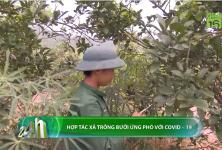 Hợp tác xã trồng bưởi ứng phó với Covid-19