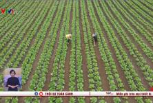 Người Mông ở Mộc Châu đã vươn lên làm giàu, sống tốt nhờ nghề trồng rau an toàn