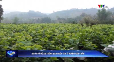 Yên Bái: Hiệu quả Đề án trồng dâu nuôi tằm ở huyện Văn Chấn