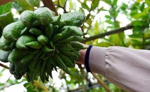 Thu hàng trăm triệu từ loại quả có mùi hương để chưng Tết