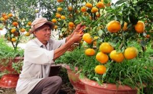 Thu gần nửa tỷ mỗi năm nhờ trồng quýt hồng trong chậu