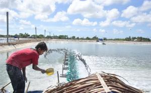 Hợp tác xã hiệu quả: Hợp tác xã nuôi tôm Hòa Nghĩa